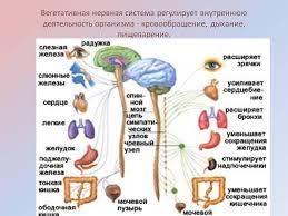 Вегетативная автономная нервная система Вегетативная нервная система