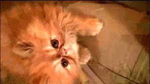 orange persian cat. Unique Orange YouTube Premium With Orange Persian Cat 7