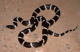 milk snake size utah milk snake information