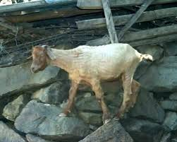 Goat Lice Goat Lice Treatment On Goats Control Nz Panzam Co