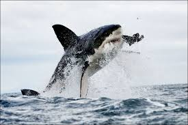great white shark jumping. Modren Great White Shark Jumps Out Of The Water And Catches A Seal To Great Jumping R
