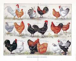 Different Types Of Chickens Chart 1912 Know Your Chicken Varieties Identification Chart Color