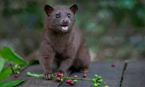 The coffee is soaked in hot water, which extracts the caffeine along with the aromatic compounds in the beans. Civet Cat Coffee Can World S Most Expensive Brew Be Made Sustainably Guardian Sustainable Business The Guardian