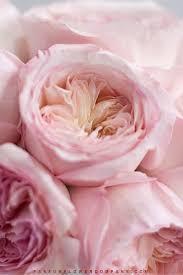 david austin wedding rose keira 007