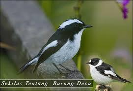 Tips membedakan decu kembang jantan dan betina. Gambar Burung Decu Kembang Jantan Dan Betina Gambar Burung Wallpaper