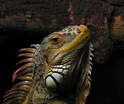 Common Iguanas
