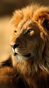 Lion Wallpaper Hd Animals Lion Iphone ...