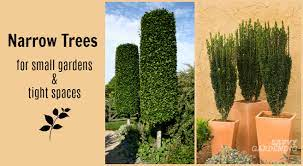 10 narrow trees for small gardens and