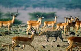 african animals wallpaper high resolution. Delighful Resolution Animals Africa Leopards Impala 1280x800 Wallpaper Art HD Wallpaper Intended African Animals High Resolution