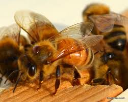 Mite Count Treating Bees For Varroa Destructor Mites