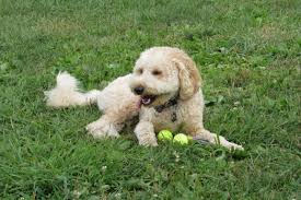 beige furry vertebrate down adorable dog breed mixed retriever barbet doggy panion bichon frise miniature poodle goldendoodle golden