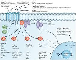 Gpcr Signaling Gpcr Pathway Creative Diagnostics