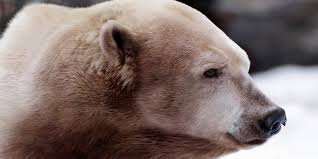 grolar bear size 20 awesome real animal hybrids collection of amazing photos