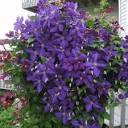 Вьющиеся цветы