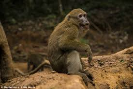 the baby monkey is an am macaque file photo a first cl