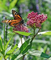 Image result for milkweed