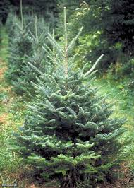 Real Christmas Trees  Home Is Where The Heart IsTypes Of Fir Christmas Trees