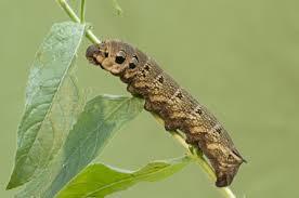 Black Caterpillar Identification Chart Identify Caterpillars The Wildlife Trusts