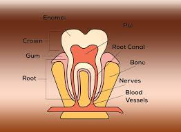 Teeth Numbers Chart Usa Tooth Crown Tooth Number Chart
