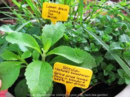 Small Picture Grow Your Own Herb Tea Garden The Micro Gardener