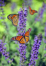 Image result for butterflies images only