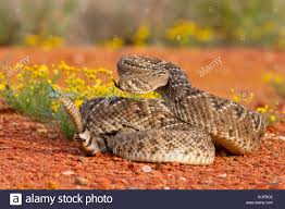 rattlesnake strike pose. Contemporary Rattlesnake Western Diamondback Rattlesnake In Aggressive Strike Pose  Stock Image With Rattlesnake Strike Pose K