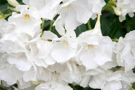 White Oleander Flowers As A Background Stock Photo, Picture And Royalty  Free Image. Image 58607838.
