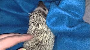 hedgehog behavioral question hedgehog behavioral question