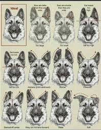 German Shepherd Ear Chart These Are Incorrect Examples Of The German Shepherd Ear