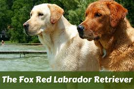 fox red retriever stood next to a more traditional yellow showing their difference in