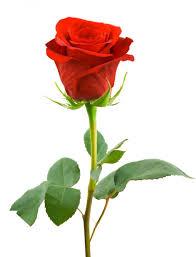 Znalezione obrazy dla zapytania róża
