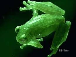 tree frog template frogs pictures tree frog printable pictures of frogs and toads