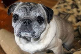 <b>Pug dog</b> Image - Stock by Pixlr
