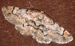 Moth Identification Chart Moth Identification Guide