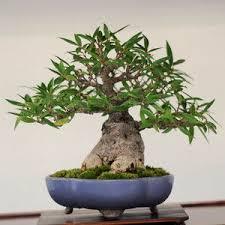 office bonsai. posts from january 2010 on bonsai tonight office h