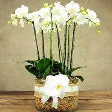 Office flower arrangements Displays Large White Orchid Plant In Glass Vase Delivered In Sydney Flowers For Everyone Corporate Flower Arrangements Flowers For Everyone