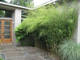 View in gallery Non-invasive clumping bamboo near a front entrance
