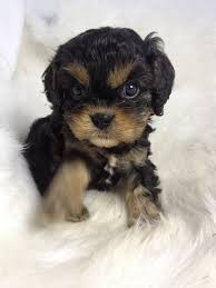 some people still prefer the features of the first generation cross cavoodles pure poodle x pure cavalier they tend to be fairly consistent with their