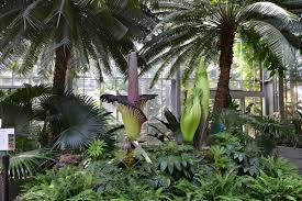 corpse flowers in bloom at the u s botanic garden in washington dc