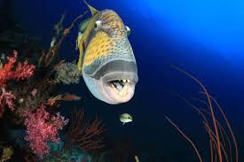 triggerfish bite. Interesting Triggerfish A Titan Triggerfish At Maldivesu0027 Southern Atolls  To Triggerfish Bite I