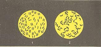 Болезнетворные бактерии Книга для чтения по ботанике kaz  Болезнетворные бактерии сильно увеличено 1 туберкулезные палочки