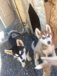 husky puppies washington usa