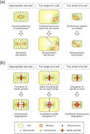 cell size pogil what determines cell size bmc biology full text