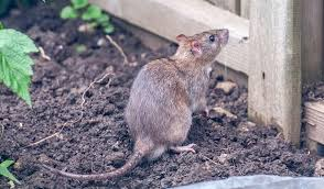 keep rats out of your vegetable garden