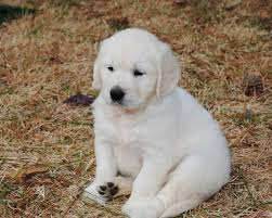 white golden retriever puppies for sale.  Puppies English Cream White Golden Retriever Puppy Intended White Puppies For Sale