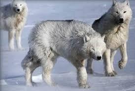 grey wolf size grey wolf pictorial