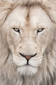 white lion iphone wallpaper. Plain Iphone For White Lion Iphone Wallpaper X