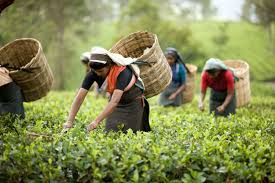 halmari tea sets a record ctc at rs a kg anirudh halmari tea sets a record ctc at rs 556 a kg