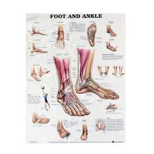 Anatomy Of Foot And Ankle Poster Anatomical Chart Human Body Educational Home Decor