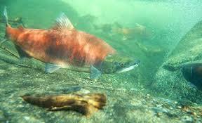 photo of a sockeye salmon
